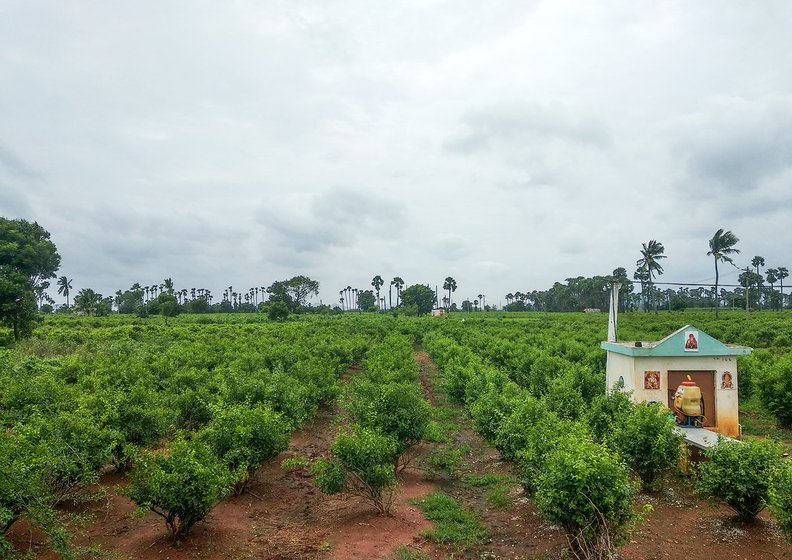 Jasmine gardens in Penumaka being grown on lands which have not been given for pooling.