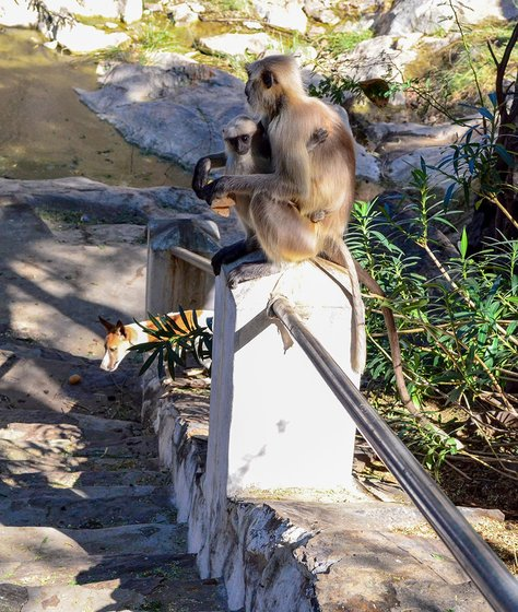 Langurs eating rotis that have been given to them by Jhujaram Dharmiji Sant