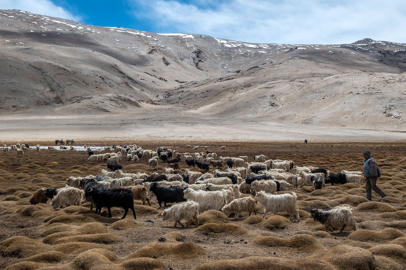 Around 110 kilometres northwest of Hanle, and about 60 kilometres northeast of Karzok village (also called Korzok) at the shore of the Tso Moriri lake, Tsering Nurgu and his herd of goats look for a  patch for grazing after trekking for 3-4 hours