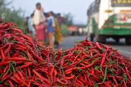 Children of the chilli fields