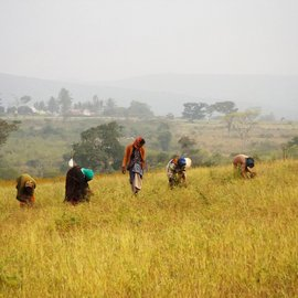 Women at work in the fields