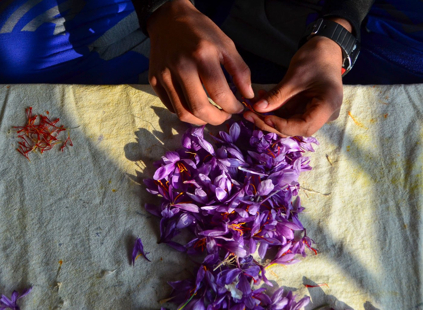 "Abdul Rashid, 55, along with his son Fayaz, extracting the saffron strands from flowers at their home in the Khrew area of Pulwama. He says removing the strand from the flower is an art. ""You have to be very skillful to take out the correct strand from the flower, otherwise you will ruin it."""