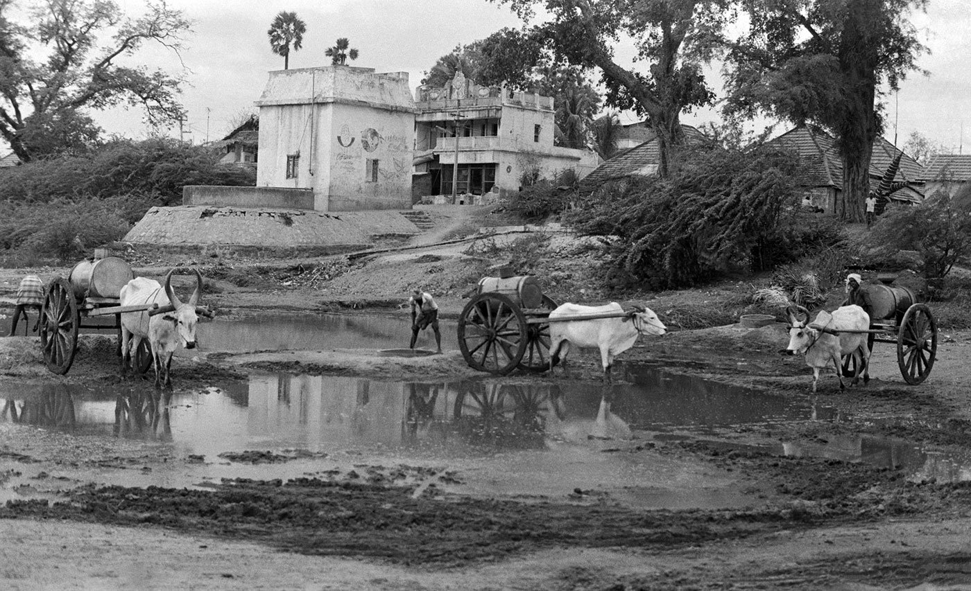 Man with buffaloes next to a pool of water in Ramnad