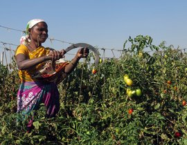 Notebandi takes the sauce out of Nashik's tomatoes