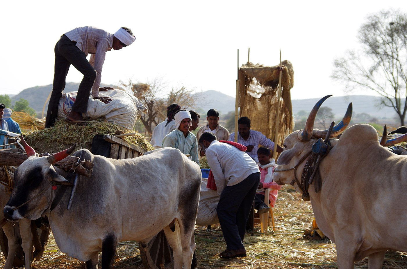 Helpers working to protect cows from heat and drought in one of the biggest cattle camps in Maharashtra.