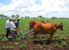 Marathwada's risky second sowing