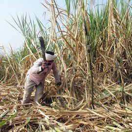 Man cutting sugarcane in a field