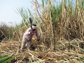 Cutting cane for 2,000 hours
