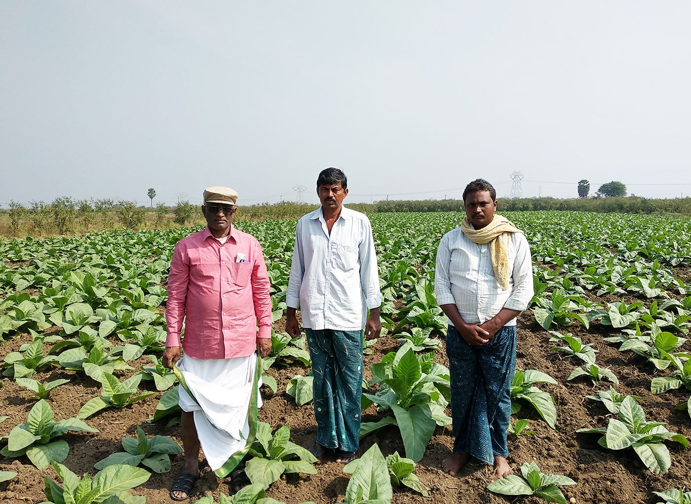 Tobacco farmers in their field