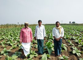 Tobacco farming's last puff in Prakasam