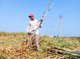 Farming in Araria, cutting cane in Karnal