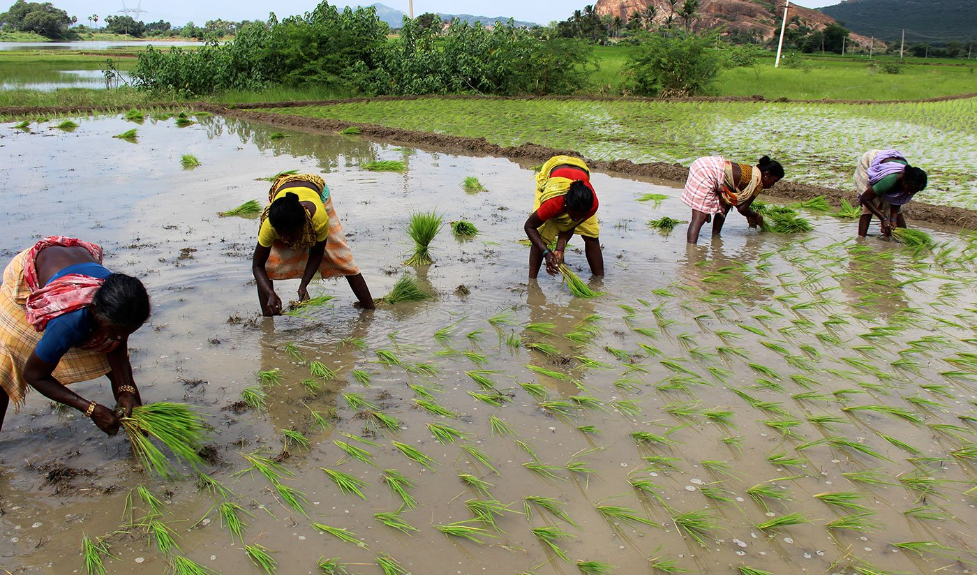 In Nadumudalaikulam, women are working at the fields.