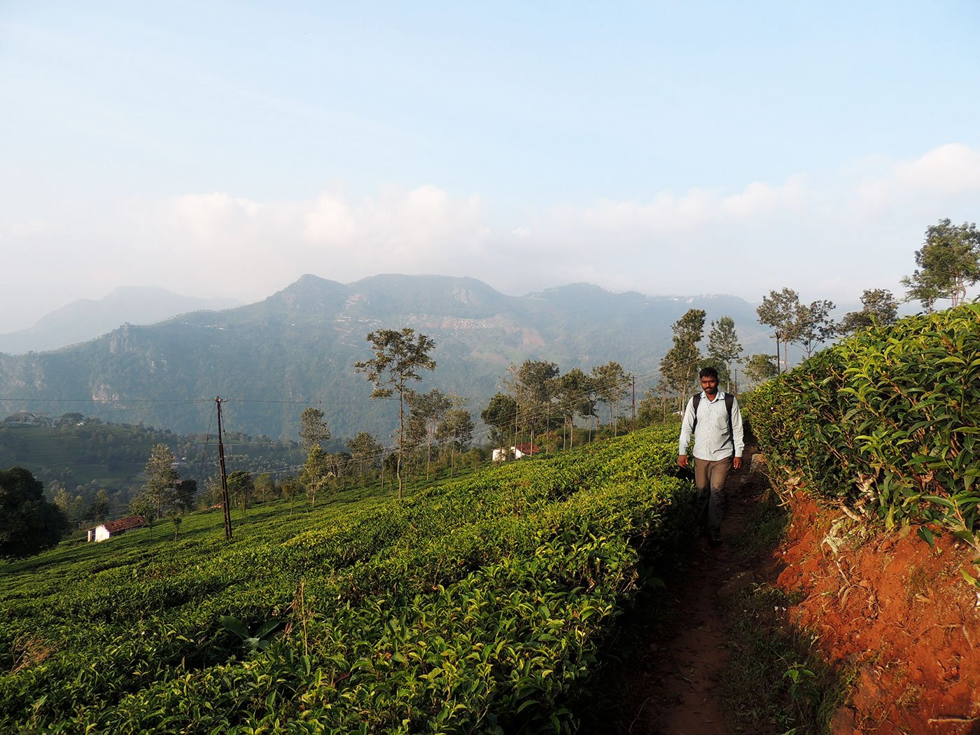 A man walking along a path in the tea gardens of the Nilgiri hills