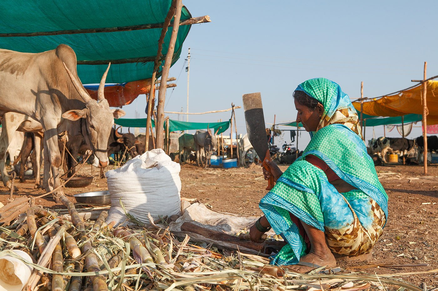 Lakshmi cutting sugarcane for fodder to feed her cows