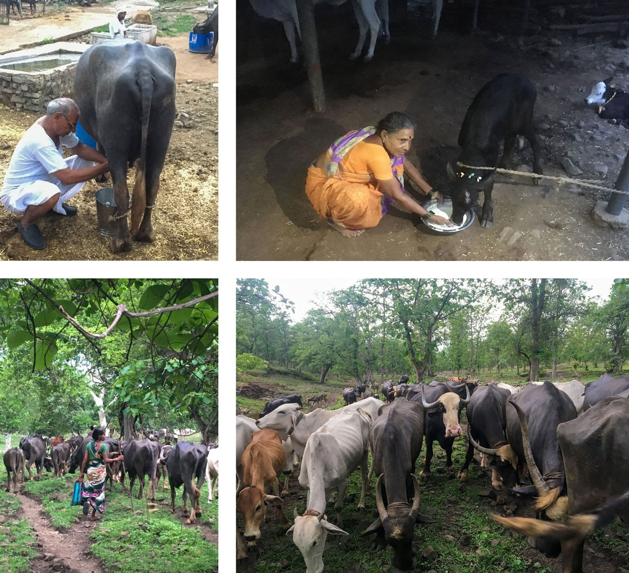 Nanda Gaolis live in 40-50 villages of Wardha, around the Bor Tiger Reserve. They rear the native Gaolao cow breed (top row), and are the major suppliers of milk and milk products in the district. The fall in demand during the lockdown has hit them hard (file photos)