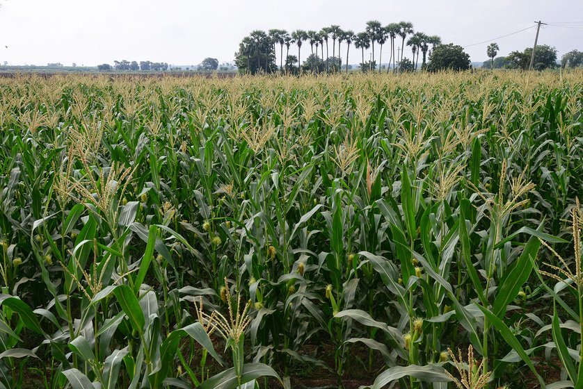 Field of maize. The fertile fields of Uddandarayunipalem, Lingayapalem and Venkatapalem villages in November 2014, before the whole land pooling exercise for the capital region has started.
