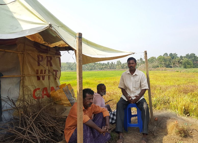 Babu Ulahannan and  KV George, (orange and white shirt,respectively) are two of the five farmers who got together to cultivate paddy on 250 acres of fallow land.