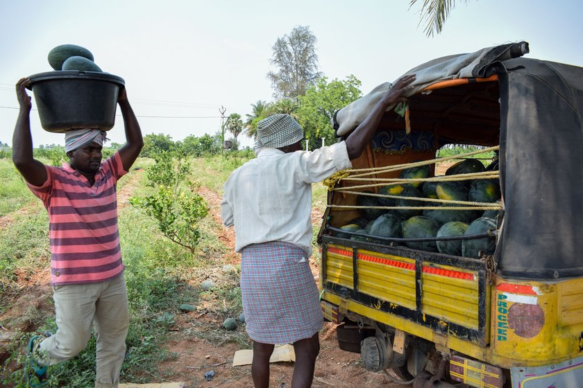 Left: 'Some are calling it 'corona kaya' [melon]', says Gudapuri Balaraju, loading his autorickshaw with watermelons in Vellidandupadu hamlet. Right: The decline in the trade in watermelon, in great demand in the summers, could hit even vendors