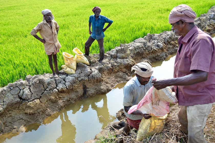 Agricultural labourers who were adding fertilisers to the field in Kalathilkadavu,Kottayam