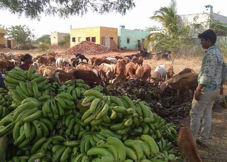 Tons of bananas were dumped in the fields of Anantapur (left), where activists and farm leaders (right) say they have collated details of the harvest in many villages