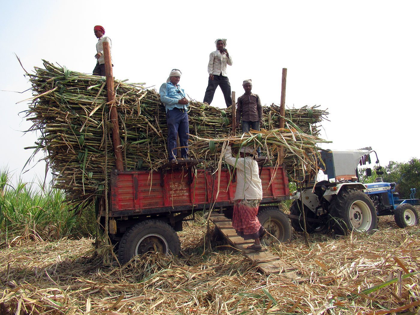 Woman carrying sugarcane on her head walking up a small ramp to load it onto the truck
