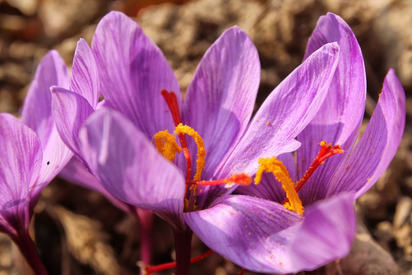 Saffron flowers in full bloom in the fields of Pampore before the November 7 snowfall this year (left)