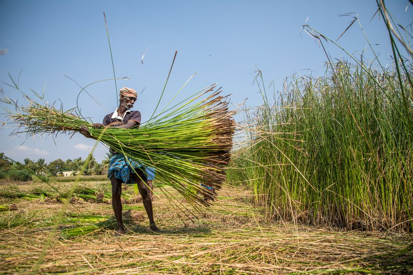 Left: V.M. Kannan (left) and his wife, K. Akkandi (right, threshing), work together in the korai fields. Most of the korai cutters from Amoor are women