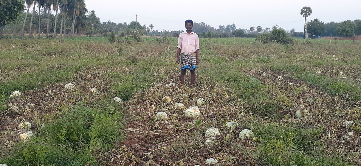 Left: In Kokkaranthangal village, watermelons ready for harvest on M. Sekar's farm, which he leased by pawning off jewellery. Right: A. Suresh Kumar's fields in Chitharkadu village; there were no buyers or truck drivers to move his first harvest in the  last week of March