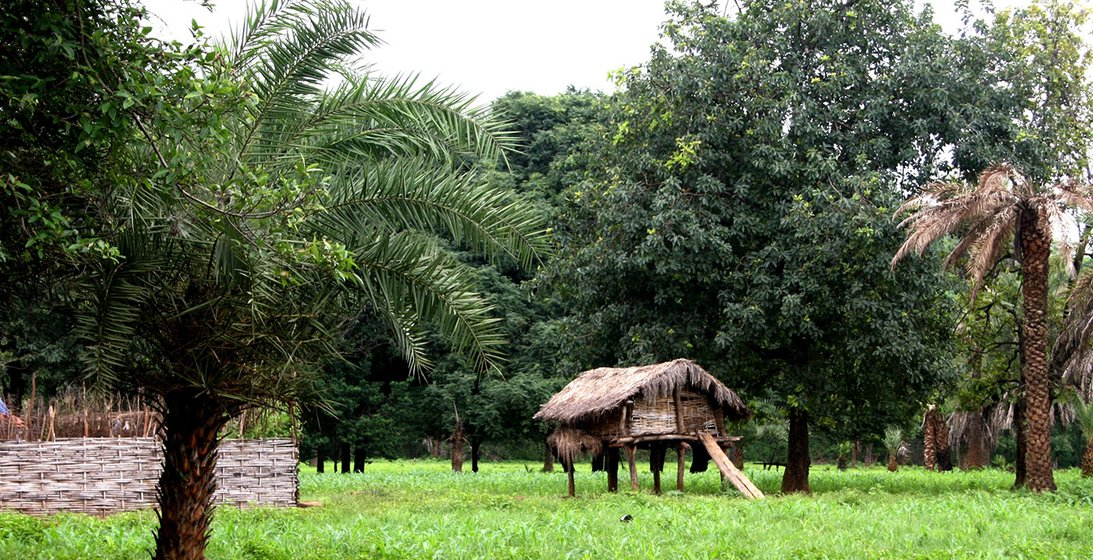 Toddy trees in Farsegarh village, Chhattisgarh