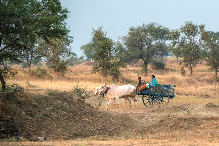 Left: Some families hire vans to fit in their entire world as they migrate – their belongings, children, sheep and goats are all packed in. Bigger animals like horses are taken on foot separately to the new destinations. Right: Some families still journey on bullock carts. This is around Chachadi village in Parasgad block of Belagavi district