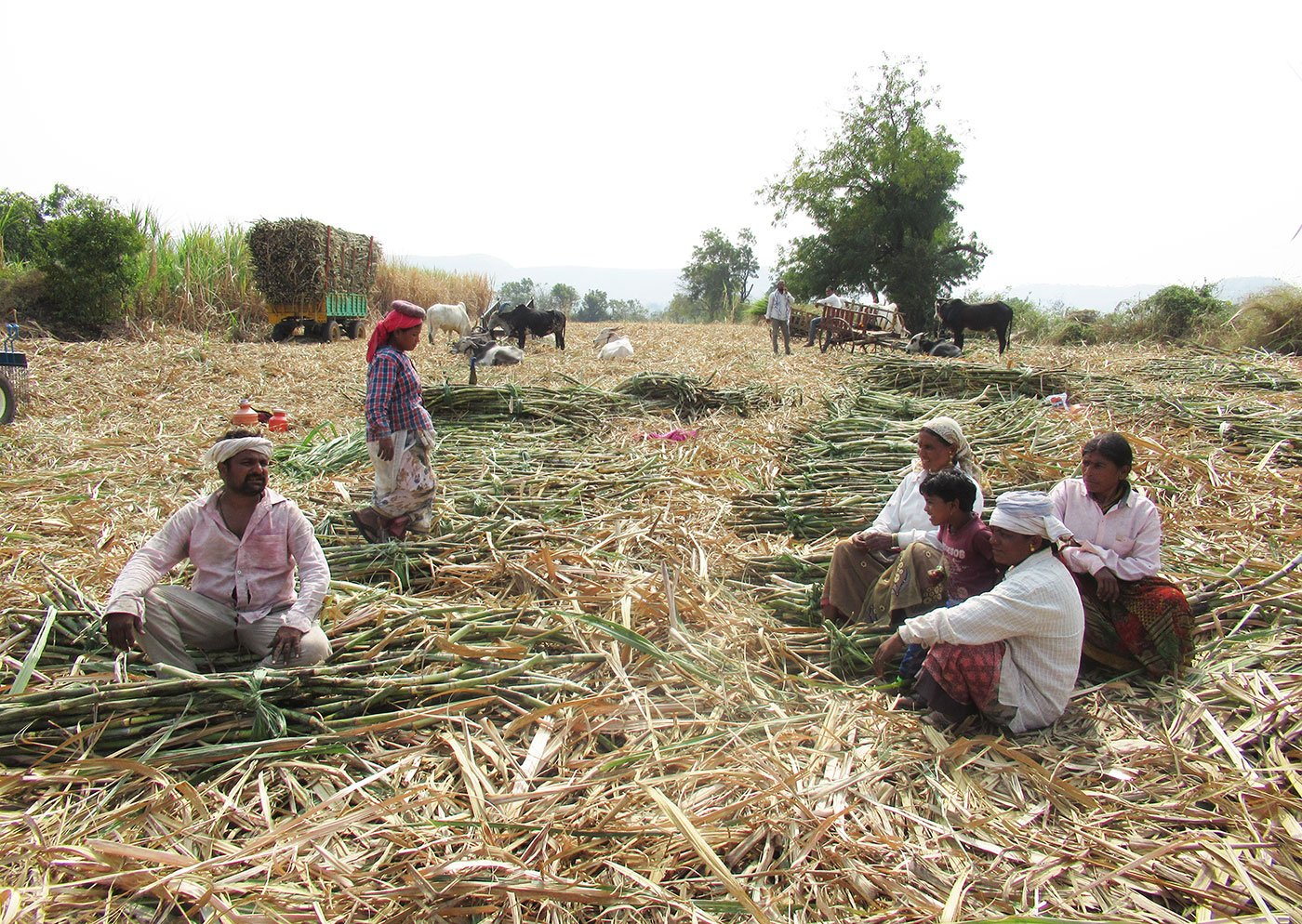 For the lakhs of labourers hired by the sugar factories of western Maharashtra, social distancing is a distant dream. Many in Sangli district are still chopping cane in unhygienic conditions despite the fear of Covid-19