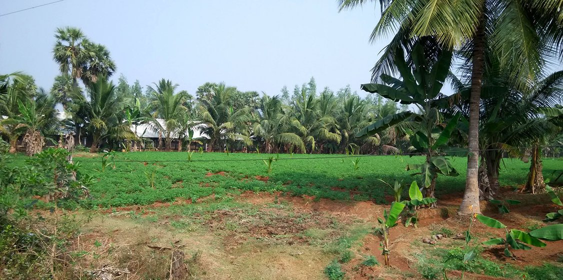 Coconut and banana plantations interspersed with each other (multi cropping) in the same field in Kotapalem. All these lands are being taken for the construction of the nuclear power plant