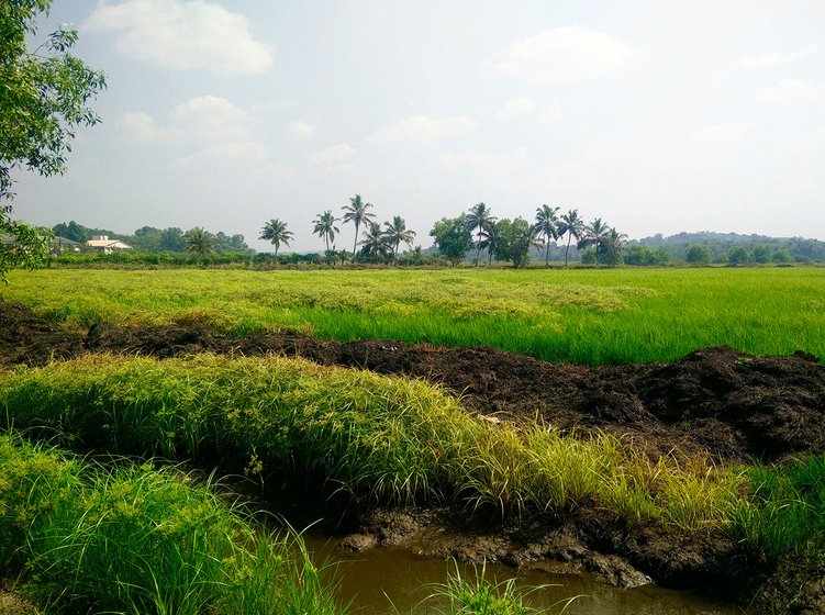 A part of the 250 acres of paddy fields in Kallara that were cultivated by Babu, George, Shibu, Varghese, and Suresh.