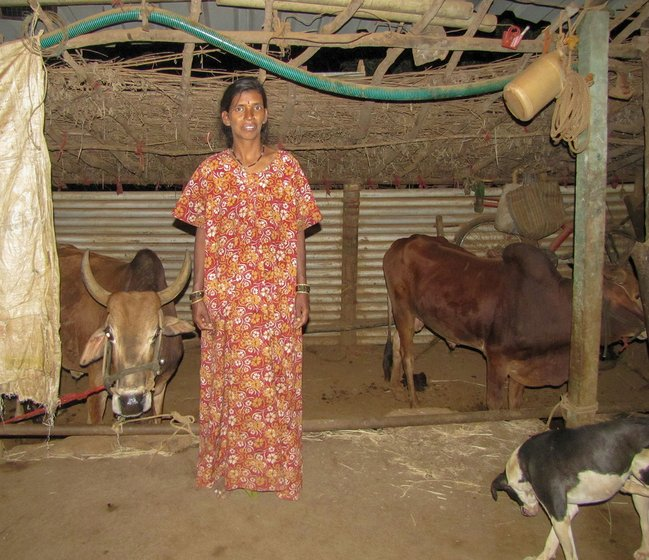 Lilabai Memane in the shed with two buffaloes