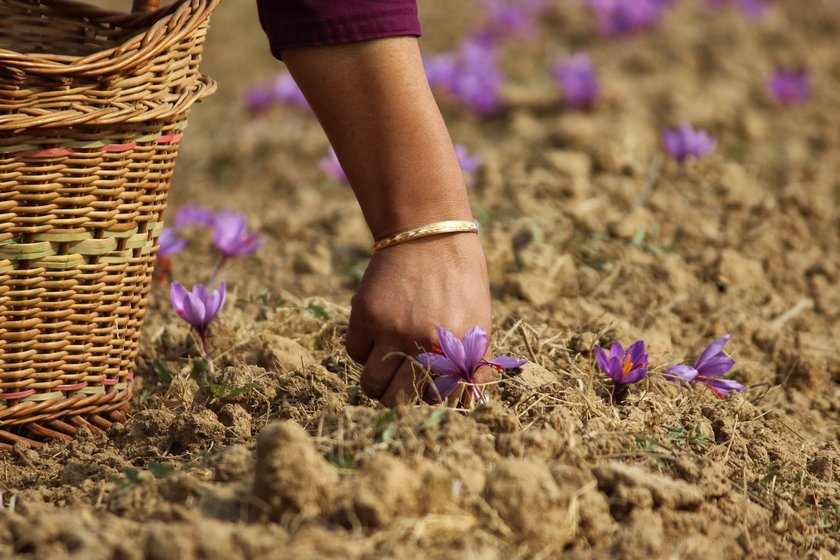 A farmer (right, who did not want to be named) plucking saffron flowers in her field in the Galendar area of Pulwama.