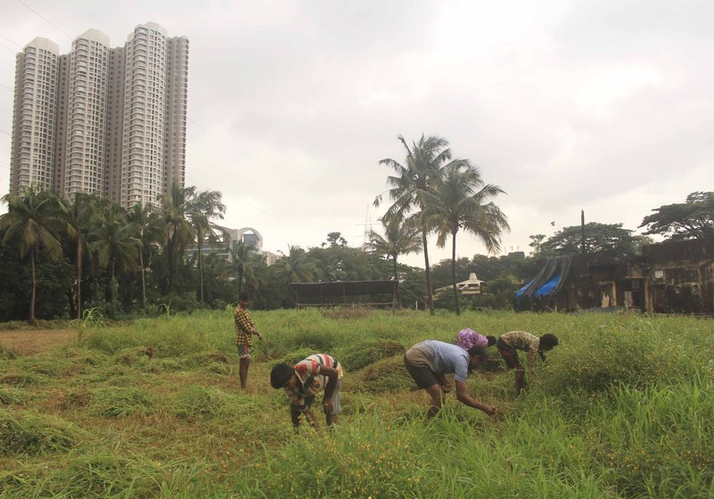 Left: The Adivasis of Aarey have for long cultivated their shrinking famlands right next to a growing city.