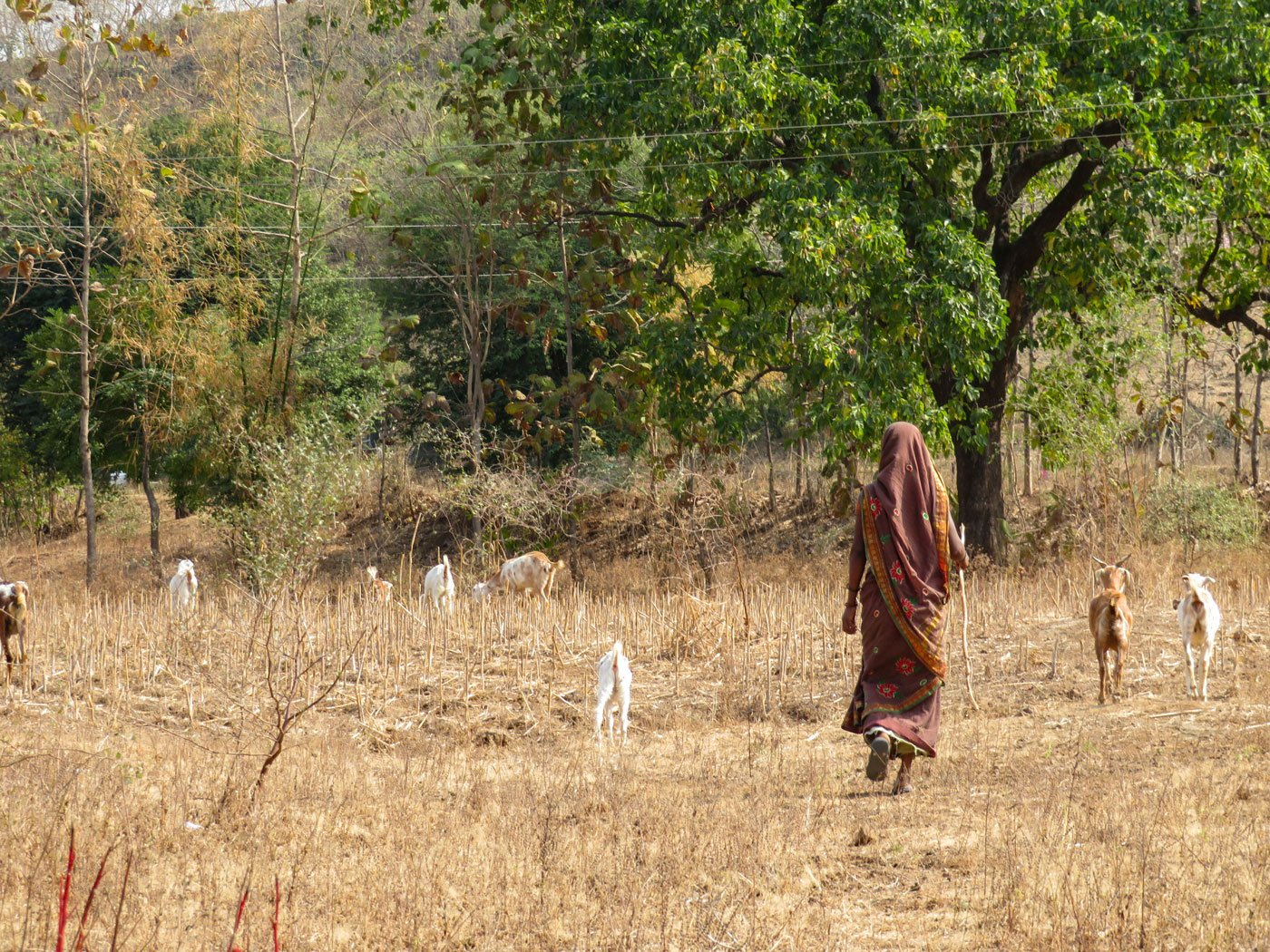 When Shevanta Tadvi is out grazing her 12 goats near the forest in Maharajapada hamlet, she is free from taunts of being 'barren'