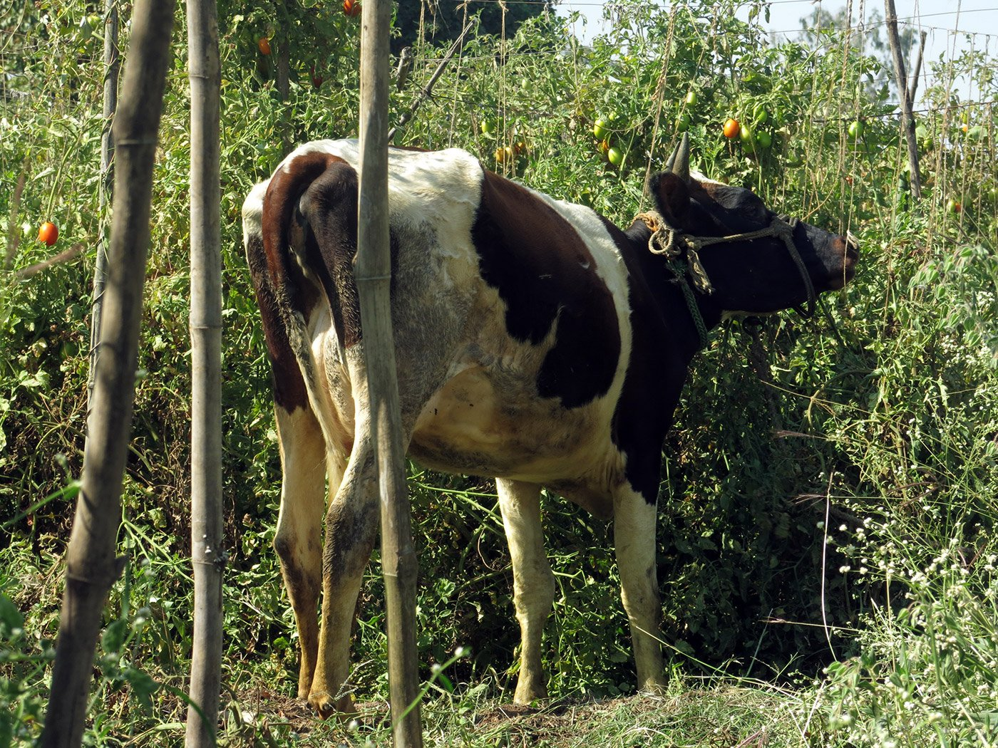 With hardly any buyers, farmer Somnath Thete has let his cows graze on his tomato crop.