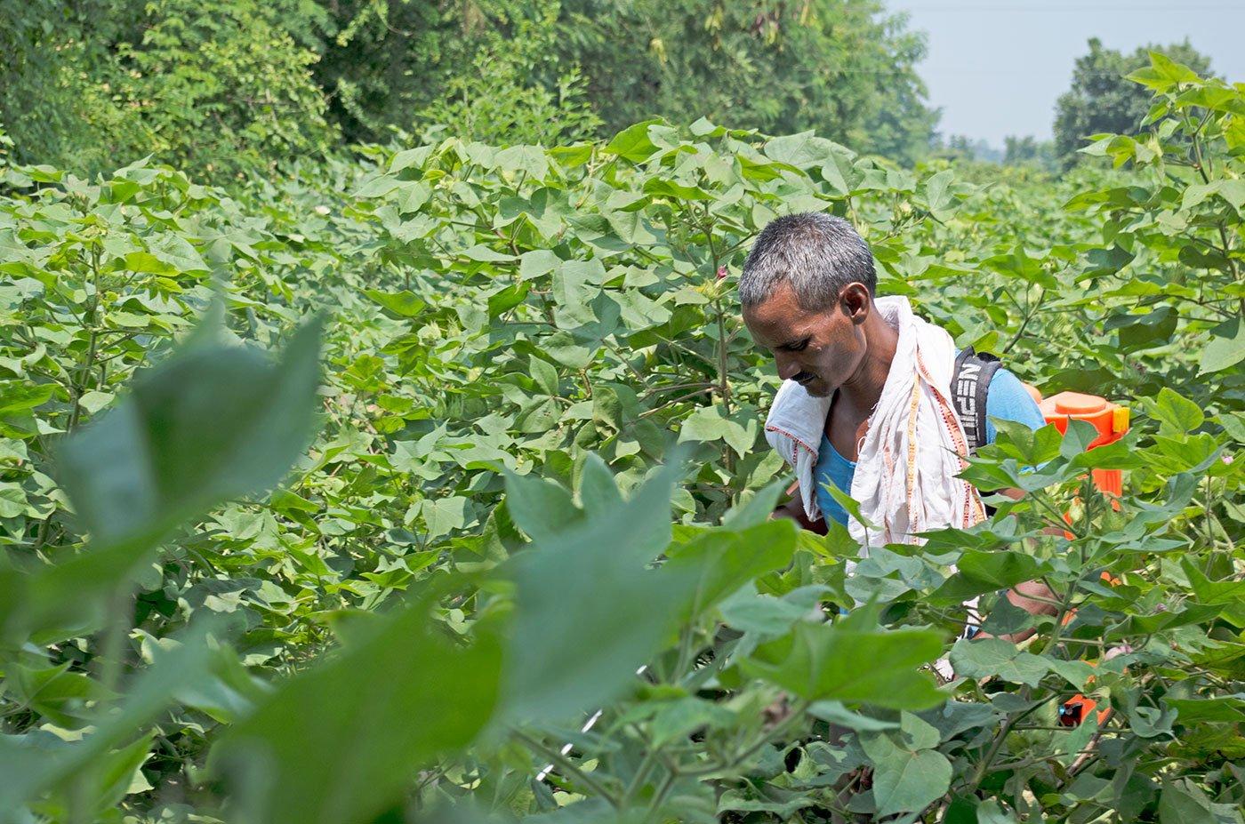 Farmer spraying pesticide in the cotton farm