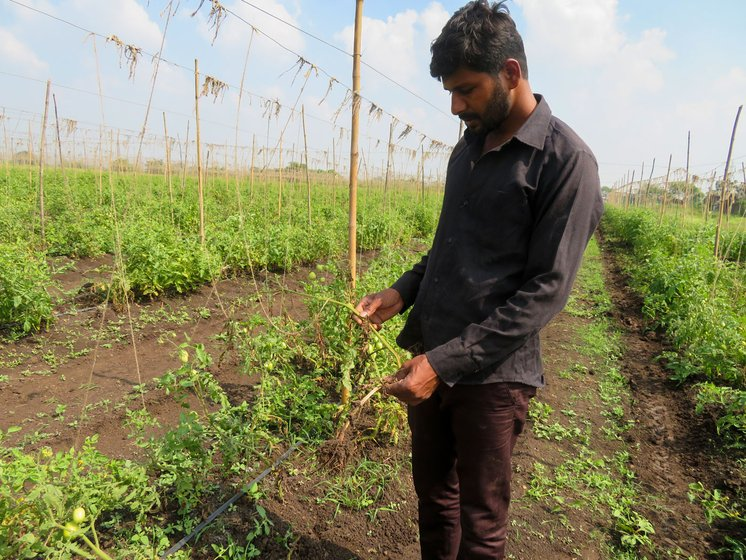On Tushar Mawal's tomato farm, the buds and flowers rotted, so there won't be any further crop growth this season