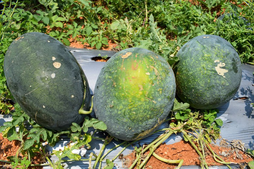 Left: The number of trucks taking watermelon to the cities of Telangana has reduced, so the wages of labouters who load the fruit have shrunk too. Right: Only the perfectly smooth and green melons are being picked up by traders; the others are sold at discounted rates or discarded