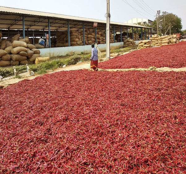 Mirchi being dried up in the Guntur market yard