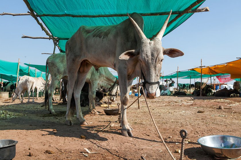 Lakshmi's cattle