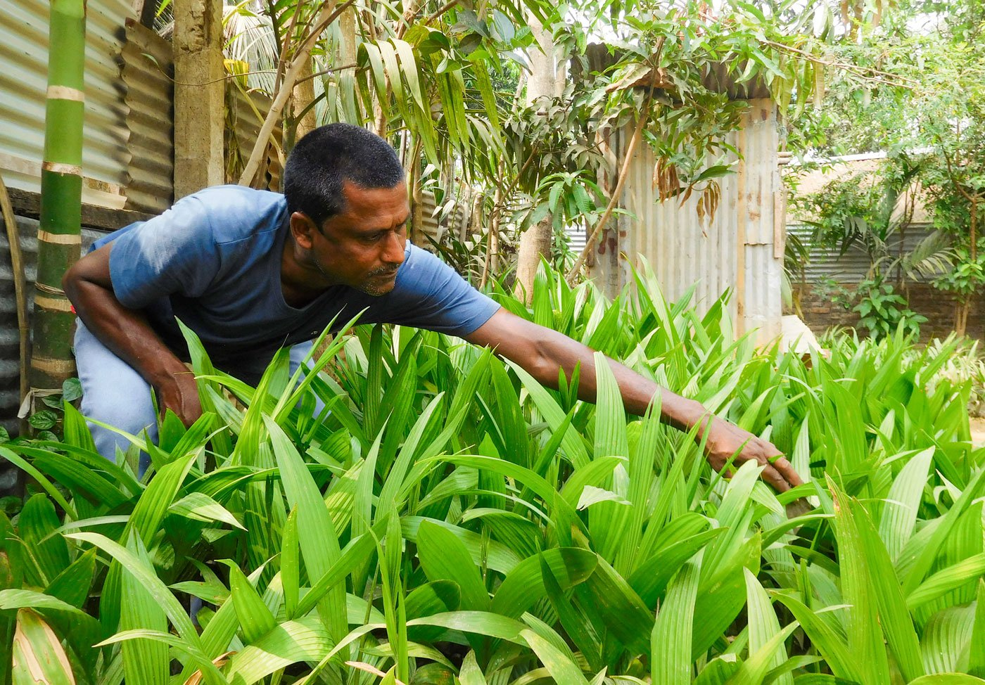 In his backyard, tending to beetle nut seedlings. Seeds are checked too at the border gate, and seeds of jute and sugarcane are not allowed – anything that grows more than three-feet high is not allowed to grow so that visibility is not obstructed