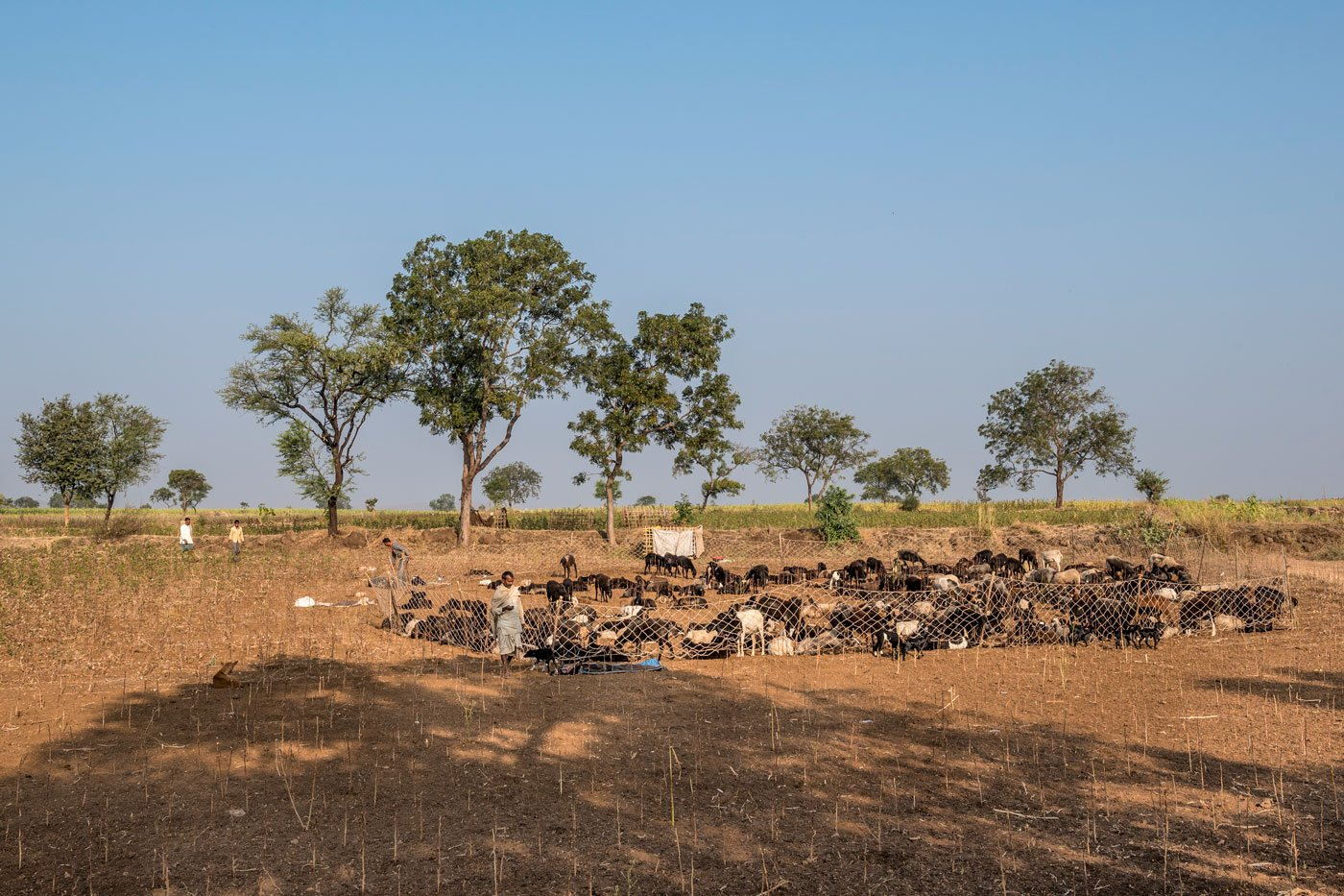 Often, two or more families divide the responsibilities of looking after their herds. They live as an extended family and migrate together after Diwali (in October-November) and return to their villages by spring (March-April).