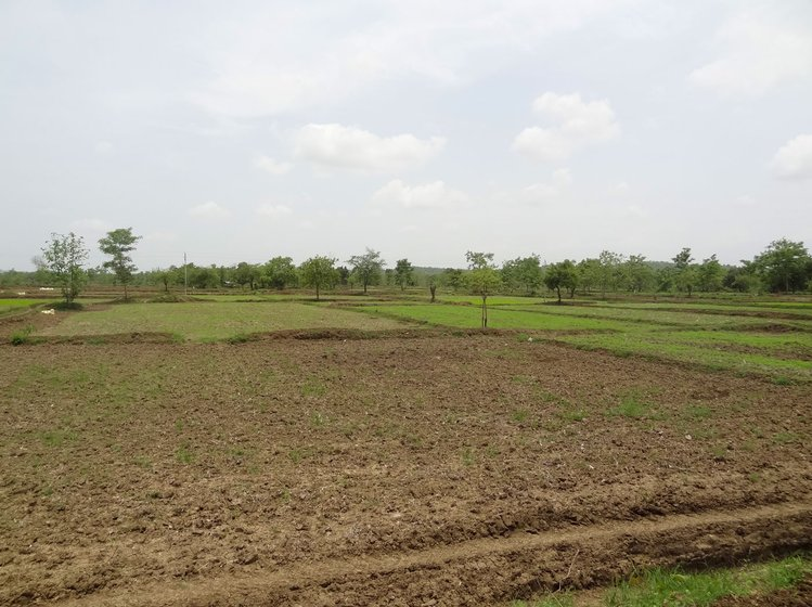 Many of Bhandara's farms, where paddy is usually transplanted by July, remained barren during that month this year