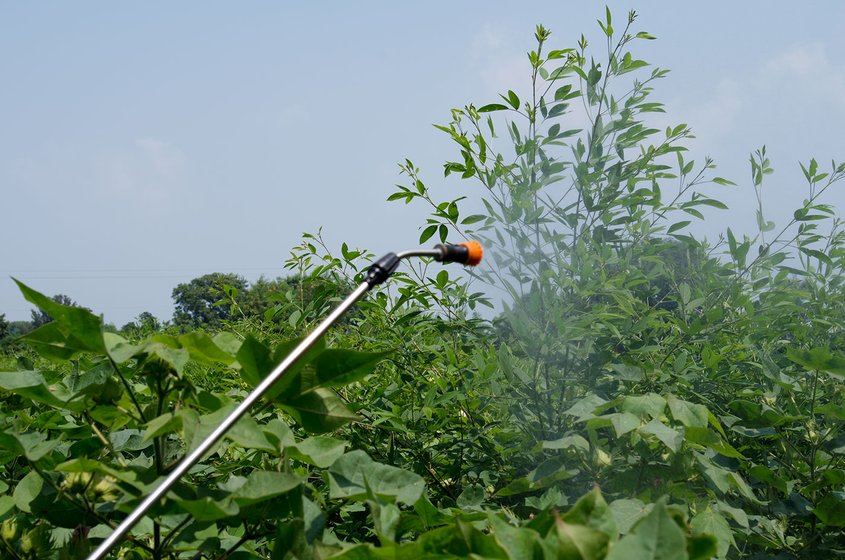 Spraying cotton with pesticide