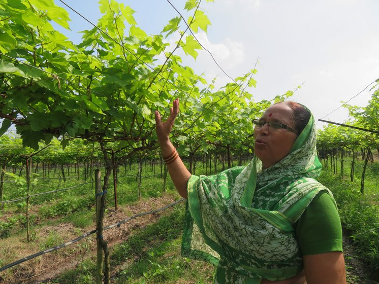 This is a complete loss', says Sarala Boraste at her grape orchard.