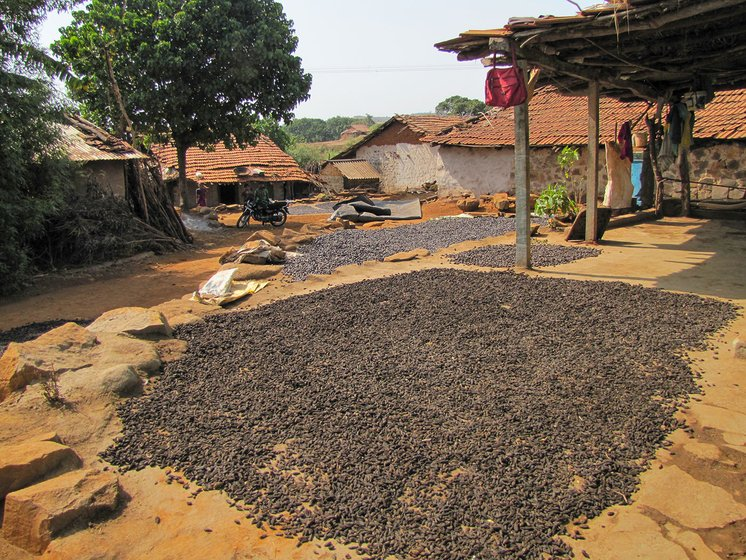 Fruit from the hirda tree being dried outdoors