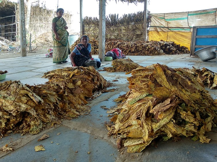 Different grades of tobacco being separated in a shed at Nidamanuru village of Prakasam district